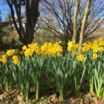 beautiful daffodils at durham botanic garden 11th march 2019